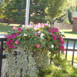 impatiens on fence railing in shaded spot