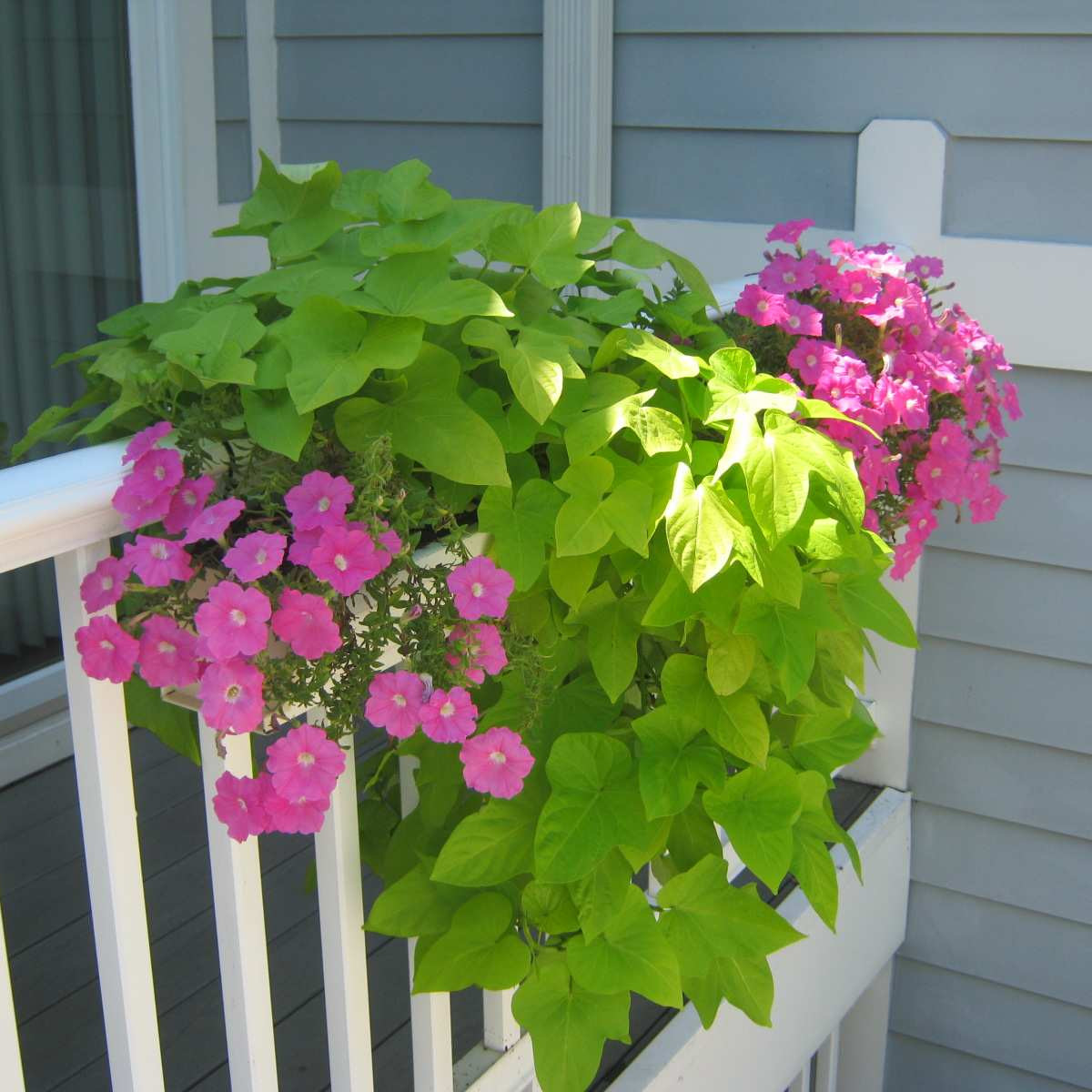 Wave Petunias And Sweet Potato Vines In A Deck Planter