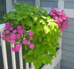Petunias ans vines in planter