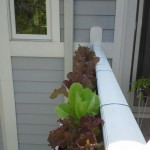 Raised bed lettuce growing in planter on railing