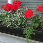 Container Window boxes in full sun